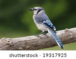 Blue Jay Resting On A Tree Limb.