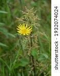 Meadow Salsify Flower...