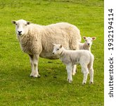 Mother sheep, a Ewe with her twin lambs in Springtime.  Facing forward in green meadow.  No people.  Yorkshire Dales.  England. Portrait, Vertical.  Space for copy.