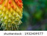 Red Hot Poker Flower  Macro ...