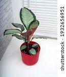 calathea picturata is a species ...   Shutterstock . vector #1932656951
