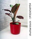 calathea picturata is a species ...   Shutterstock . vector #1932656954