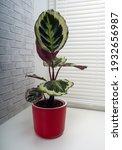 calathea roseopicta  the rose...   Shutterstock . vector #1932656987