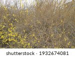 bushes in spring  blossoming in ... | Shutterstock . vector #1932674081