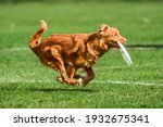 Funny Face Red Duck Toller...