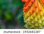 Red Hot Poker Flowers In Garden....