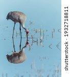 A sandhill crane (Antigone canadensis) and its reflection at Bosque del Apache Wildlife Refuge, New Mexico