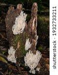 Coral Fungus Mushroom On Trunk...