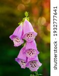 A Wild Foxglove Specimen In...