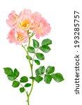 Cluster Of Pink Carpet Roses O...