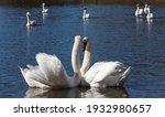 Closeup Couple Swan In Spring ...