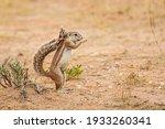 Ground Squirrel Standing Up...