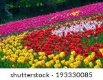 Beautiful Tulip Flowers Field...
