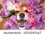Happy Funny Corgi Dog With Open ...