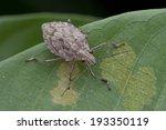 Macro Shot Of A Shield Bug On...