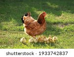 Small photo of Mother hen with chickens in a rural yard. Chickens in a grass in the village against sun photos. Gallus gallus domesticus. Poultry organic farm.Sustainable economy.Natural farming.Free range chickens.