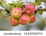 Apple Tree Branch With Red...