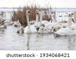 White Swan Flock In Spring...