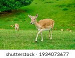 Deer Walks On A Glade