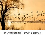 Silhouette Of Snow Geese On...