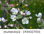 Apple Tree Flowers In The...