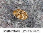 Varied Carpet Beetle Anthrenus...