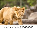 young lion in zoo | Shutterstock . vector #193456505