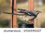 Northern Mockingbird Alights On ...
