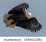 Bald Eagle In Flight On A Sky...