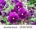 Viola Tricolor Pansy  Flowerbed