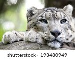 The Snow Leopard  Panthera...