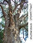 Trunk Of Paperbark Thorn Tree...