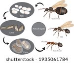 Ant Life Cycle. Stage Of...