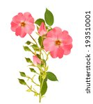 dog rose branch isolated on... | Shutterstock . vector #193510001