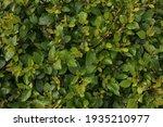Closeup Of Hedge Of Shrub...