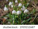 Flowers Of Leucojum Aestivum ...