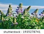 Lupin Wild Flowers Against Blue ...