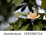 heavenly lotus  gustavia... | Shutterstock . vector #1935382714