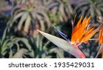 Strelitzia Bird Of Paradise...