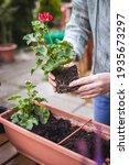 Woman Holding Geranium Plant...