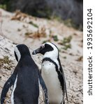 African Penguin At The Boulders ...
