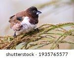 Bronze Mannikin Bird Sitting In ...