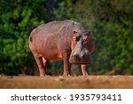 African Hippopotamus ...