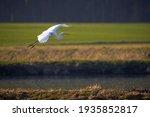 Great White Egret In Flight ...