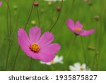 Beautiful Purple Cosmos Flower...