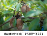 Organic Sapodilla Fruit. Raw...