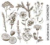 aromatherapy,art,berry,bitter,botany,calendula,chamomile,cowberry,drawing,drawn,drug,elecampane,extract,floral,flower