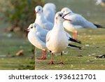 A Group Of Black Headed Gulls...