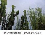 Euphorbia And Milk String...