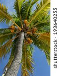 coconut tree. nature of the... | Shutterstock . vector #193640255